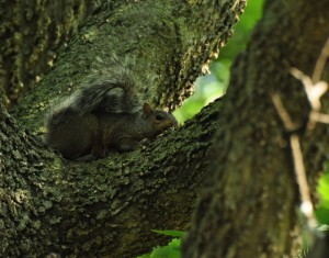 5 S Gray Squirrel - being invisible