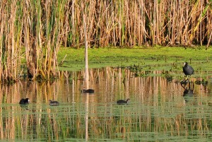 1 coots adult & young