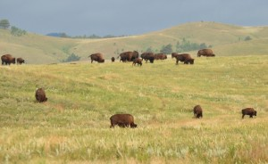 1.1 Grazing bison - Custer SP