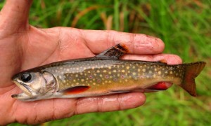 3  Thick as Minnows - 7 and three quarter inch Brook Trout