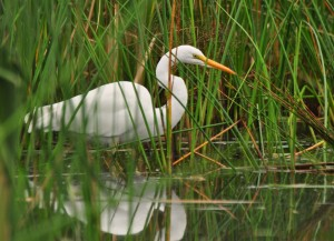 1.7  Stalking the Shallows -- Great Egret
