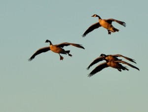 1  Sunrise Honkers 10-08-13