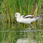 Avocets at Ventura Marsh