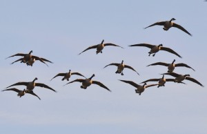 4 Incoming - Canada geese