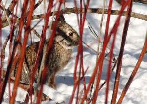 1.1 Cottontail in dogwood