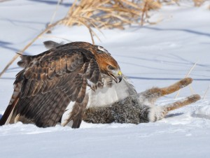1.3 Red-tail smack down