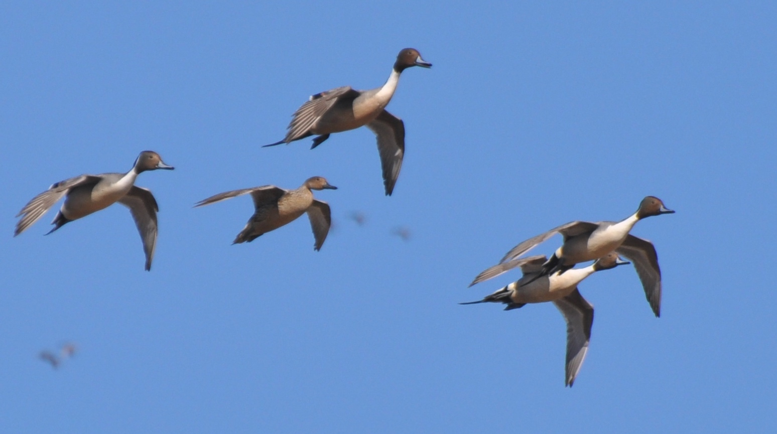 Poetry in Motion – Northbound Pintails Provide Aerial ...