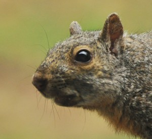 Squirrel's ears