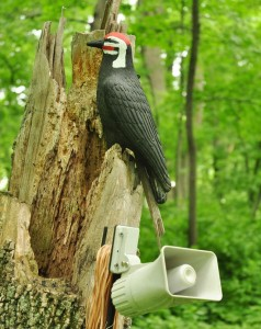 3  Pileated decoy