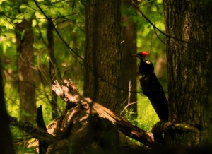 4 Pileated -- first arrival