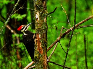7 Pileated - female - Clayton Cty.