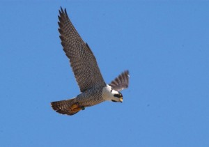 6 Peregrine hunting over Mississippi