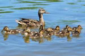 Hen mallard with brood