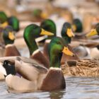 U.S. Fish & Wildlife Service Predicts Strong Waterfowl Migration