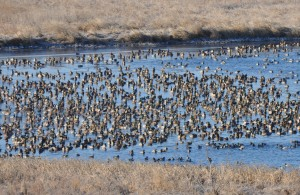 Northbound Mallards - Mar. 2014