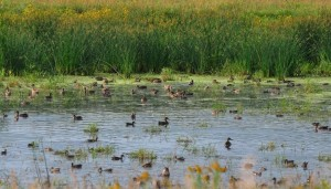 Prairie Pothole Duck Production
