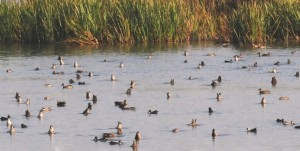 Taking a Break - Migrating Blue-winged teal