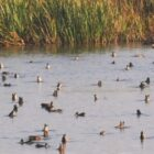 At Long Last; Iowa's Special Teal Season is Back