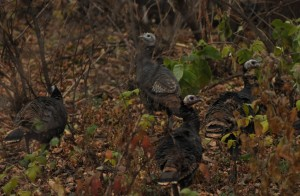 1  Off the Roost  - Oct. Turkey