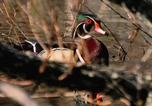 3 -- In the Willows - drake wood duck