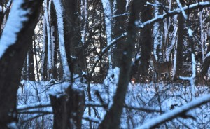 1 Winter Solitude - White-tail Doe