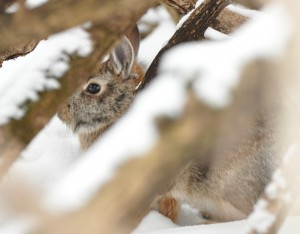 Feb cottontail