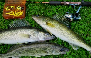 1 Clear Lake - walleyes