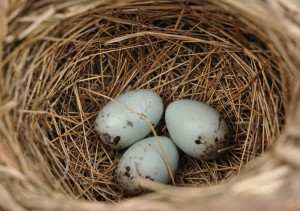 6 eggs red-winged