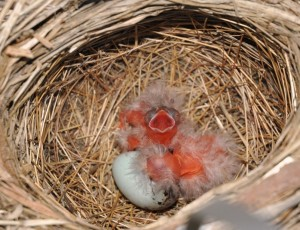 7 hatching red-wings