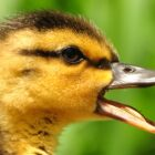 U.S. Fish & Wildlife Service Predicts Strong Duck Migration for 2015