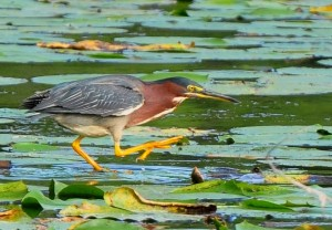 4 Adult Green Heron Stalks Frog