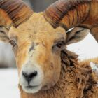 Sure Footed Bighorns Climb Road to Recovery