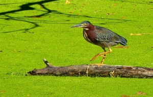 8 Green heron-Rice Lake