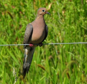 1 Dove in foxtail