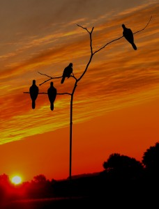 2 Clearing skies - Dove decoys