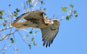 Red-tail attack