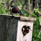 Will Drake Wood Ducks Enter Nesting Cavities?