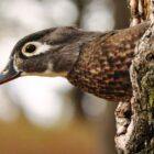 Bill's Pond Provides Wood Duck Oasis