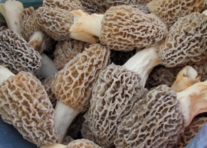 Bluff Country Morels