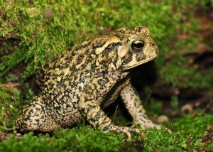 1  Amer. toad- adult