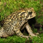 American Toads Make Interesting Additions To Summer Landscapes