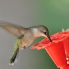 September Hummingbird Migration Right on Schedule