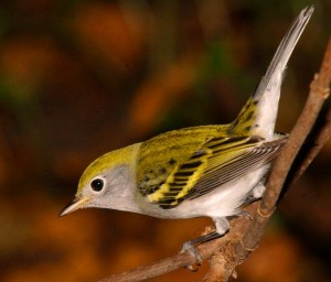 2-chesnut-sided-warbler