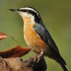 Red-breasted Nuthatches Visit Iowa