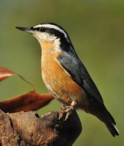 red-breasted-nuthatch-11-21-16