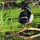 Banded waterfowl — An Amazing Encounter