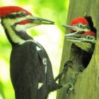 Woody Woodpecker Makes North Iowa its Home