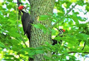 2 Pileated pair
