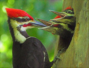 2 male feeding young