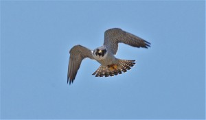Mad Dad - Dub. tiercel